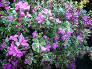 Texas Sage for xeriscapes