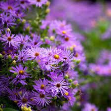 Fall Asters: landscaping flowers in Texas for Fall