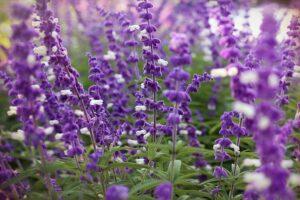 Mexican Bush Sage: landscape flowers in Texas