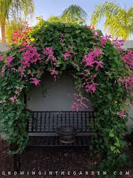 Coral Vine: Central Texas landscaping flowers