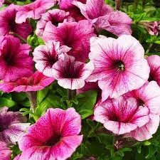 Petunia: landscaping flowers in Texas for Fall